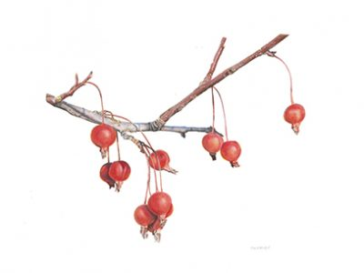 Malus sylvestris Decorative crabapples Watercolor and gouache 11 x 14