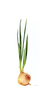 Allium cepa L. Yellow onion Watercolor 10 x 20