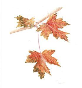 Acer rubrum, Maple leaves, Watercolor 11 x 14