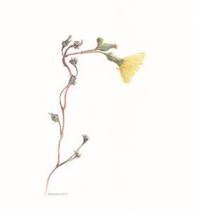 Hieracium canadense Canadian Hawkweed Watercolor 81/2 x 11