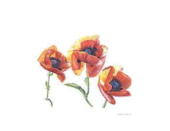 Papaver orientale, Asian Poppies, Watercolor 8 1/2 x 11