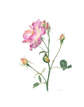 Rosa, Canadian Campfire Rose, Watercolor 11×14