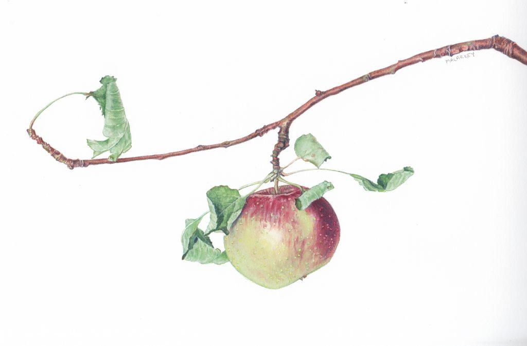 Malus pumila Apple branch Watercolor 11.5 x 9. Brandi Malarkey, artist. ItsAllMalarkey.com