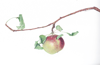 Malus pumila Apple branch Watercolor 11.5 x 9. Brandi Malarkey, artist. ItsAllMalarkey.com