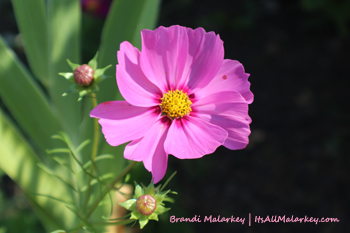 Annual Cosmos. Image taken at the Butterfly Garden at Yunker Farm in Fargo, North Dakota (Northern Plains Botanic Garden). Brandi Malarkey, Artist. ItsAllMalarkey.com