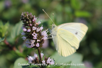 Cabbage Butterfly. Image taken at the ABC Gardens at Yunker Farm in Fargo, North Dakota (Northern Plains Botanic Garden). Brandi Malarkey, Artist. ItsAllMalarkey.com