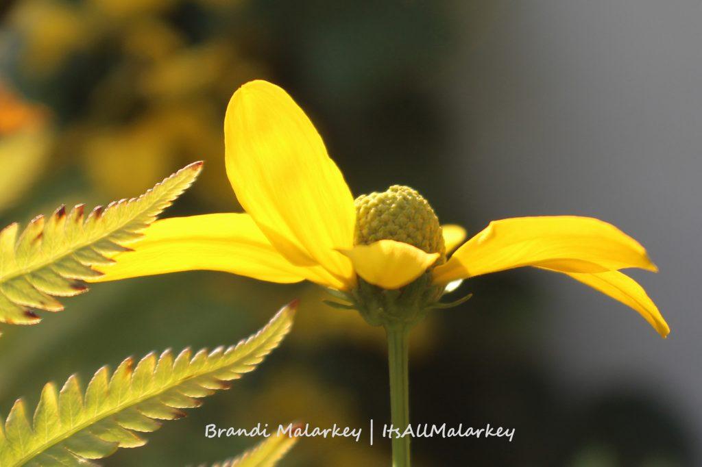 Coneflower. Image taken in Fargo, North Dakota. Brandi Malarkey, artist. ItsAllMalarkey.com
