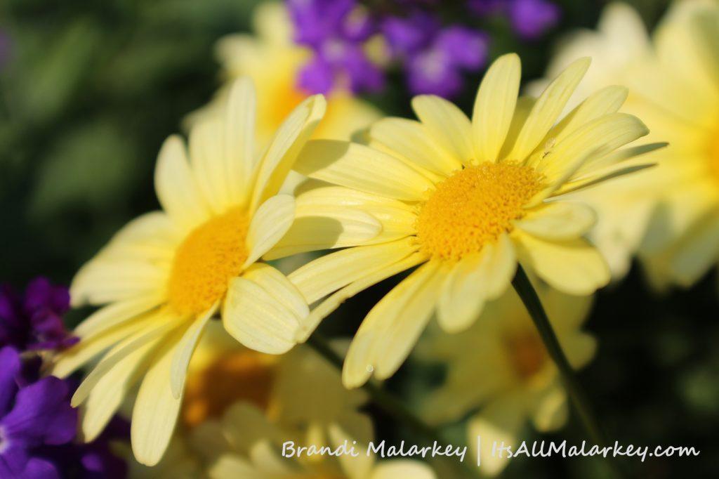 Double Daisy. Image taken at the Bergeson Nursery in Fertile, Minnesota. Brandi Malarkey, Artist. ItsAllMalarkey.com