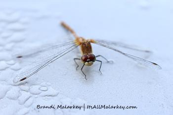 Gimli Dragonfly 1. Image taken at Gimli, Manitoba, near Lake Winnipeg, Canada. Brandi Malarkey, artist. ItsAllMalarkey.com