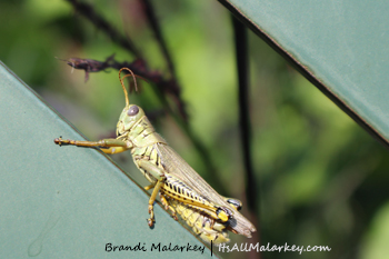 Longfellow Grasshopper. Image taken at the Longfellow Gardens at Minnehaha Regional Park Minneapolis, Minnesota. Brandi Malarkey, artist. ItsAllMalarkey.com