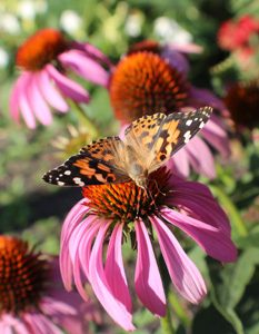 Painted Lady with Echinacea. Image taken at the Butterfly Gardens at Yunker Farm in Fargo, North Dakota (Northern Plains Botanic Garden). Brandi Malarkey, artist. ItsAllMalarkey.com