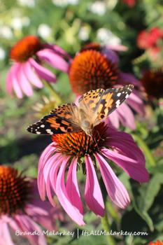 Painted Lady with Echinacea. Image taken at the Butterfly Gardens at Yunker Farm in Fargo, North Dakota (Northern Plains Botanic Garden). Brandi Malarkey, artist. ItsAllMalarkey.com