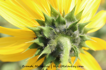 Underneath Sunflower. Image taken at the ABC Gardens at Yunker Farm in Fargo, North Dakota (Northern Plains Botanic Garden). Brandi Malarkey, artist. ItsAllMalarkey.com