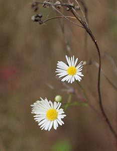 White Asters. Image taken in Maplewood State Park in Minnesota. Brandi Malarkey, artist. ItsAllMalarkey.com