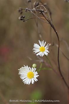 White Asters. Image taken in Maplewood State Park in Minnesota. Brandi Malarkey, artist. ItsAllMalarkey.com