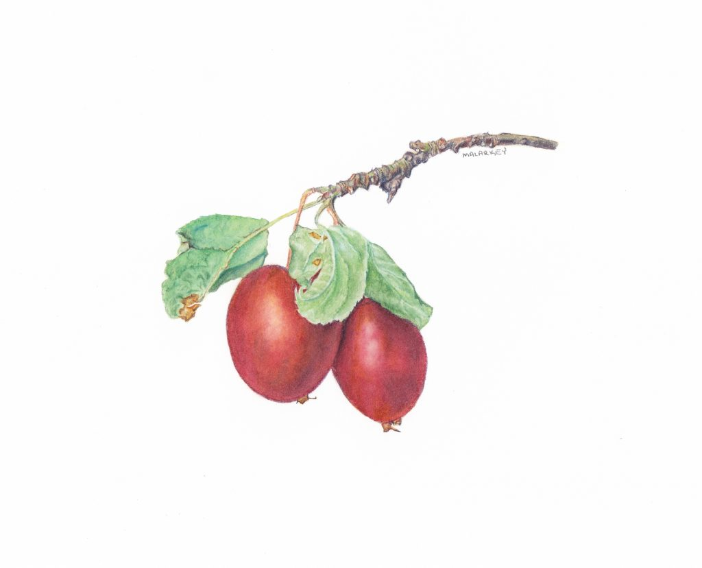 Crab apples (Malus sylvestris), watercolor, 4.5x4.5, Brandi Malarkey, artist. ItsAllMalarkey.com