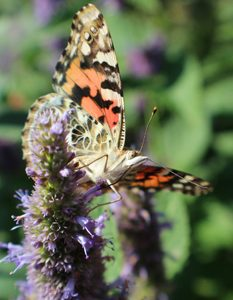 Painted Lady. Image taken at the ABC Gardens at Yunker Farm in Fargo, North Dakota (Northern Plains Botanic Gardens). Brandi Malarkey, artist. ItsAllMalarkey.com