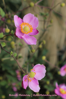 Roses. Image taken at the Olbrich Botanical Gardens in Madison, Wisconsin. Brandi Malarkey, artist. ItsAllMalarkey.com