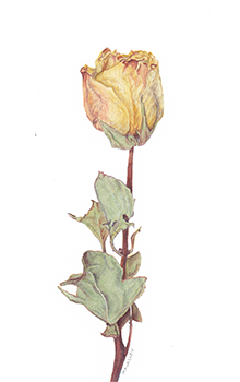 Dried Rose. Watercolor, 4x7. Brandi Malarkey, artist. ItsAllMalarkey.com