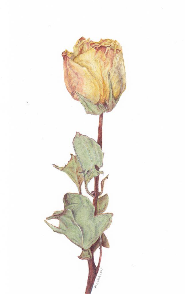 Dried Rose. Watercolor, 4x7. Brandi Malarkey, artist. ItsAllMalarkey.com