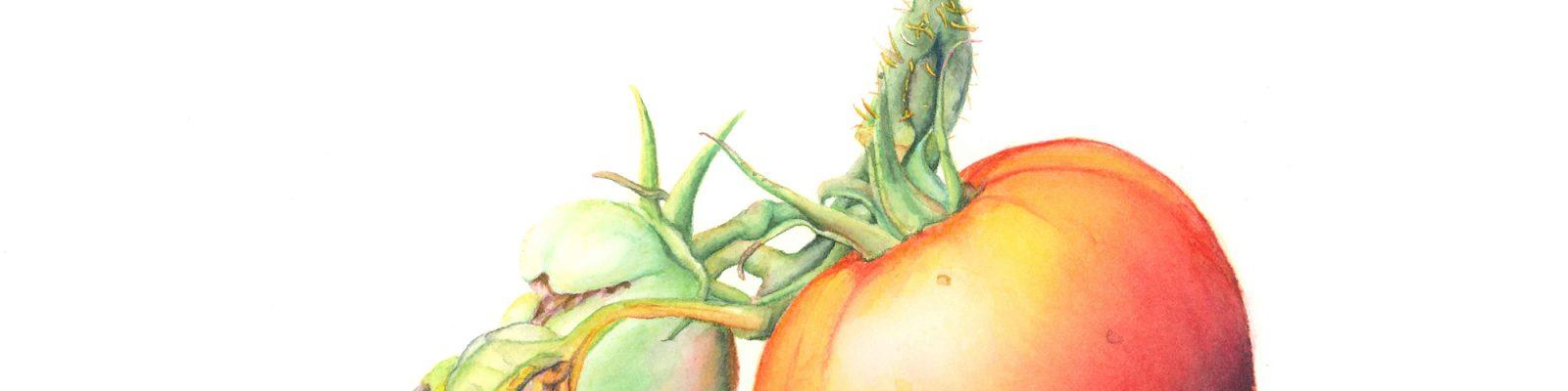 Brandi Malarkey, artist. ItsAllMalarkey.com Solanum lycopersicum Tomato Watercolor 10x10.75