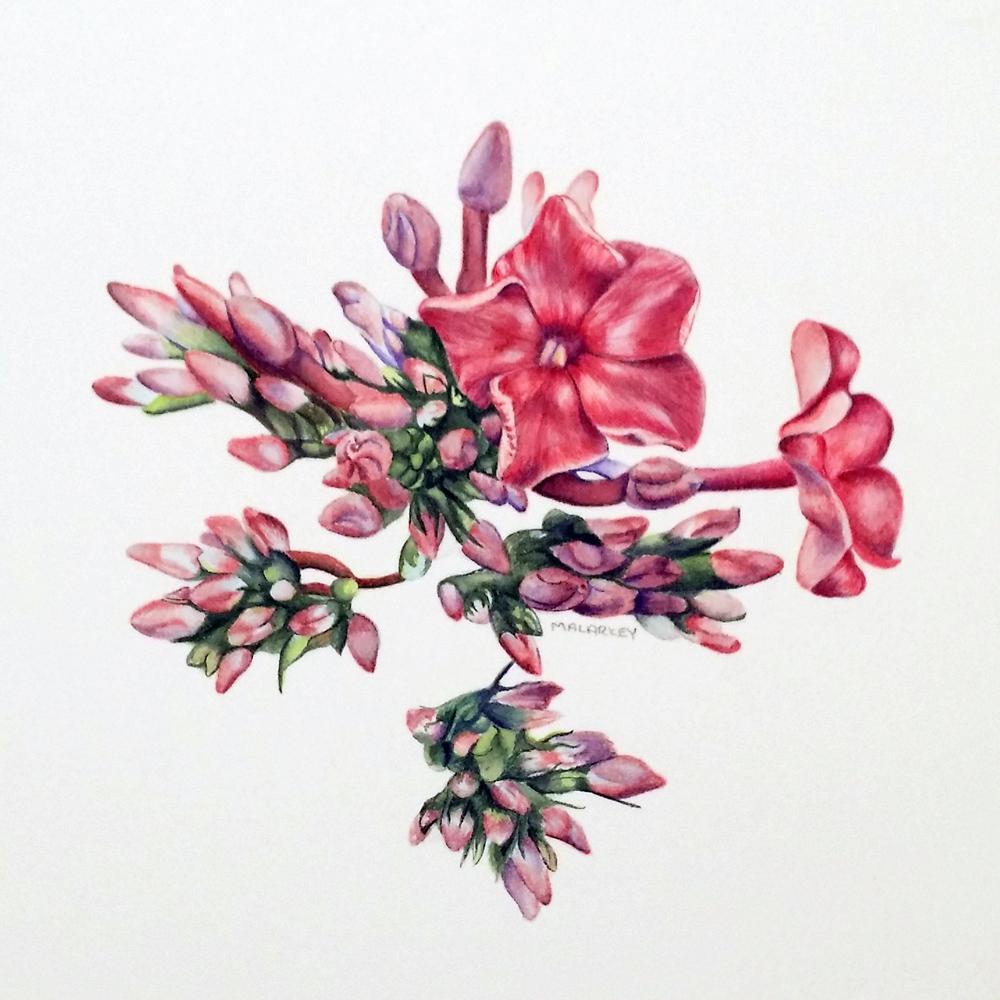 Phlox paniculata Ka-Pow Lavender Garden Phlox Watercolor 5x5  Brandi Malarkey, Artist. ItsAllMalarkey.com