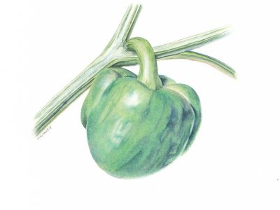 Capsicum annuum/Green bell pepper. Watercolor. 5x5 Brandi Malarkey, artist. ItsAllMalarkey.com