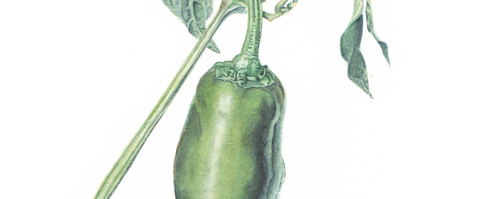 Capsicum annuum/Jalapeno pepper. Watercolor. 5x5 Brandi Malarkey, artist. ItsAllMalarkey.com