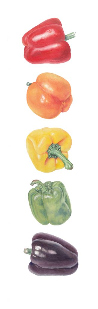 Taste The Rainbow (Capsicum annuum), watercolor, 6.5 x 21. Brandi Malarkey, artist. ItsAllMalarkey.com