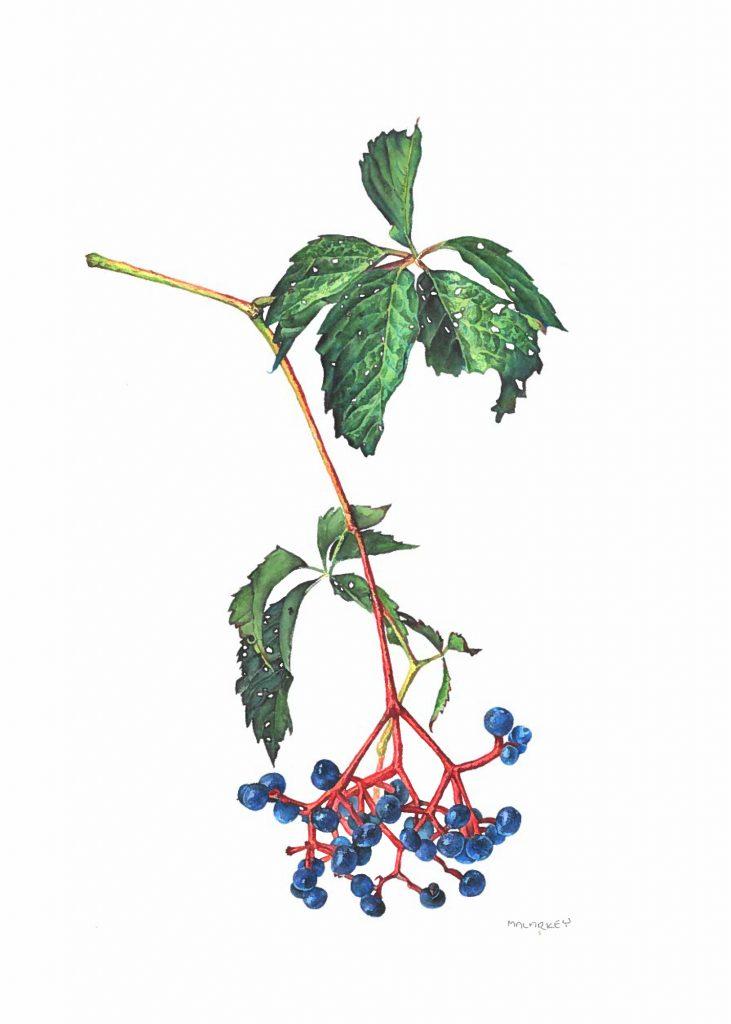 Parthenocissus quinquefolia Virginia creeper Watercolor 8.5x11. Brandi Malarkey, artist. ItsAllMalarkey.com
