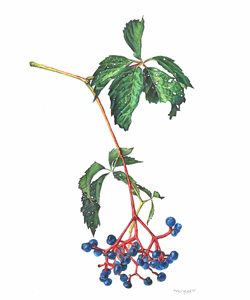 Parthenocissus quinquefolia Virginia creeper Watercolor 8.5x11. Brandi Malarkey, artist. ItsAllMalarkey.com