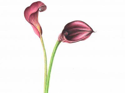 Zantedeschia aethiopica Calla lily Watercolor 11 x 11.5. Brandi Malarkey, Artist. ItsAllMalarkey.com