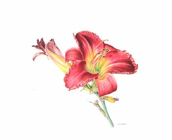 Hemerocallis Daylily Watercolor 14 x 10. Brandi Malarkey, artist. ItsAllMalarkey.com