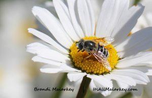Bee on Daisy. Brandi Malarkey, artist. ItsAllMalarkey.com