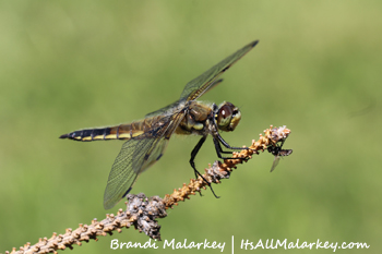 Dragonfly. Brandi Malarkey, artist. ItsAllMalarkey.com