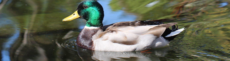 Duck. Image taken at Balboa Park San Diego. Brandi Malarkey, artist. ItsAllMalarkey.com